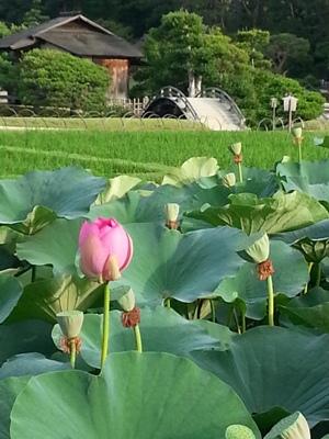 蓮と朝市 <br>Lotus flowers and morning market