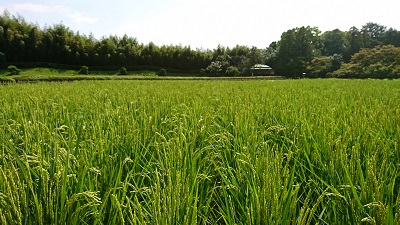 2017年の稲の花 <br>rice flowers in 2017